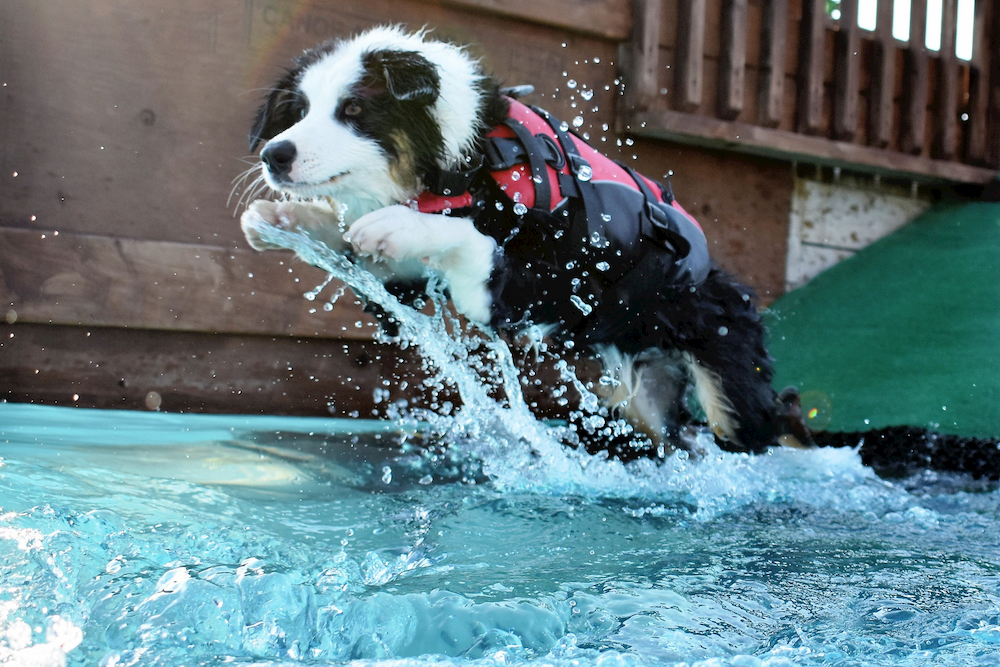 Dog jumping in pool wearing a life vest