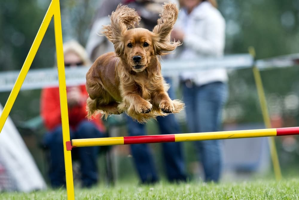 Dog at agility training jumping over hurdle