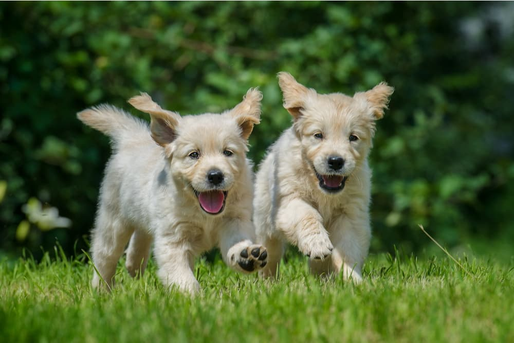 Dogs running outside in the heat
