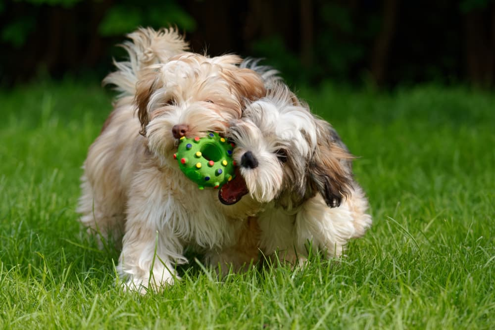 Two puppies play fighting outside over a toy