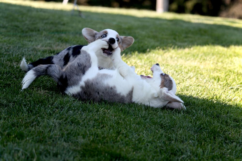 Two corgi puppies outside play fighting