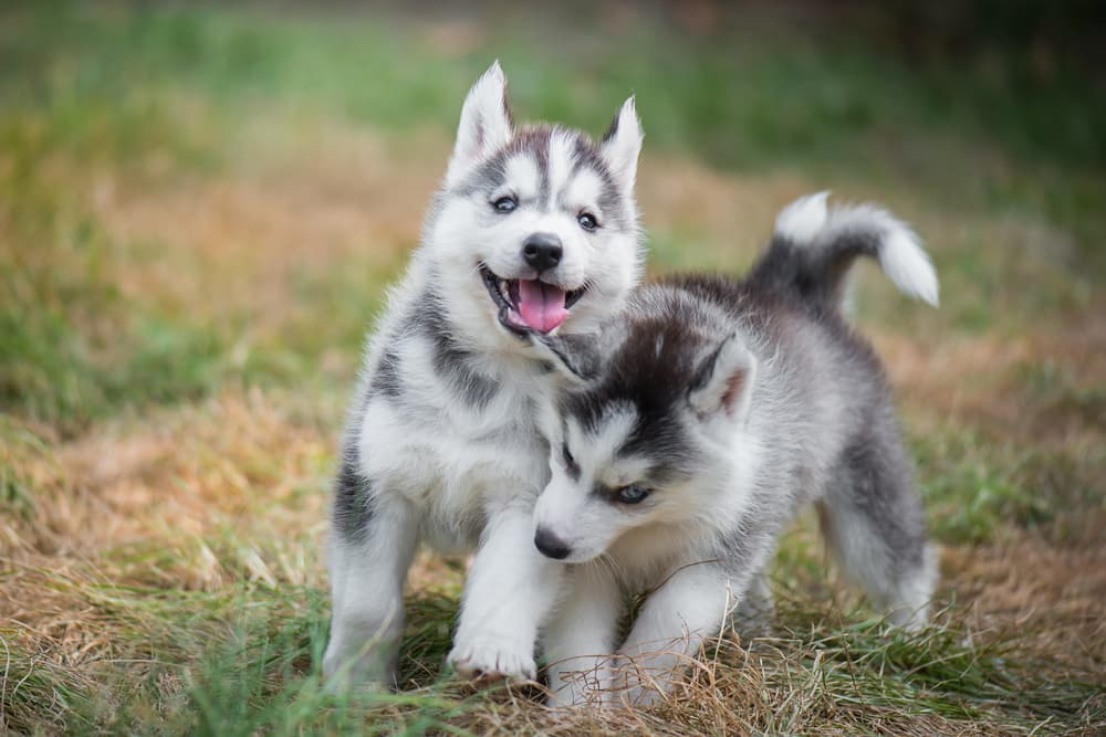 Two husky puppies happily playing outside