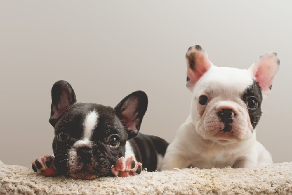 Two puppy siblings on a carpet
