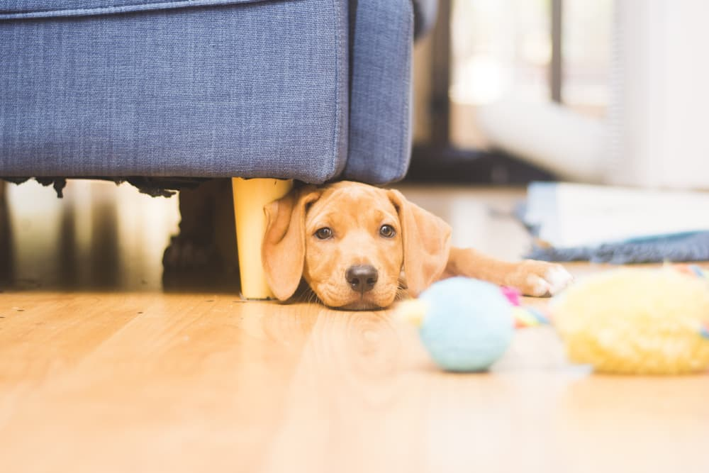 Puppy not playing with ball alone in house