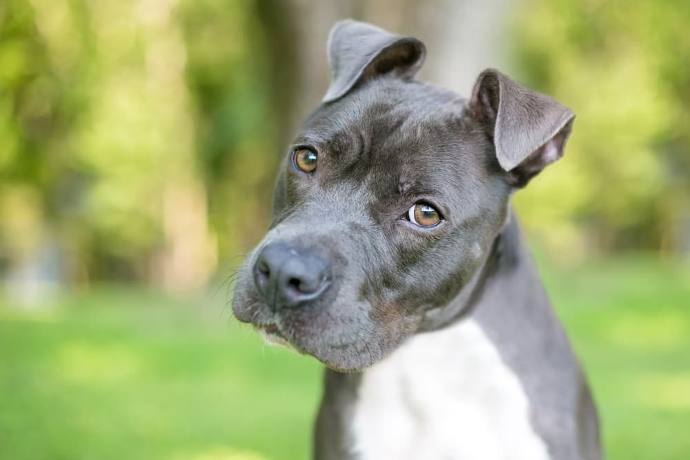 Pit bull dog looking confused
