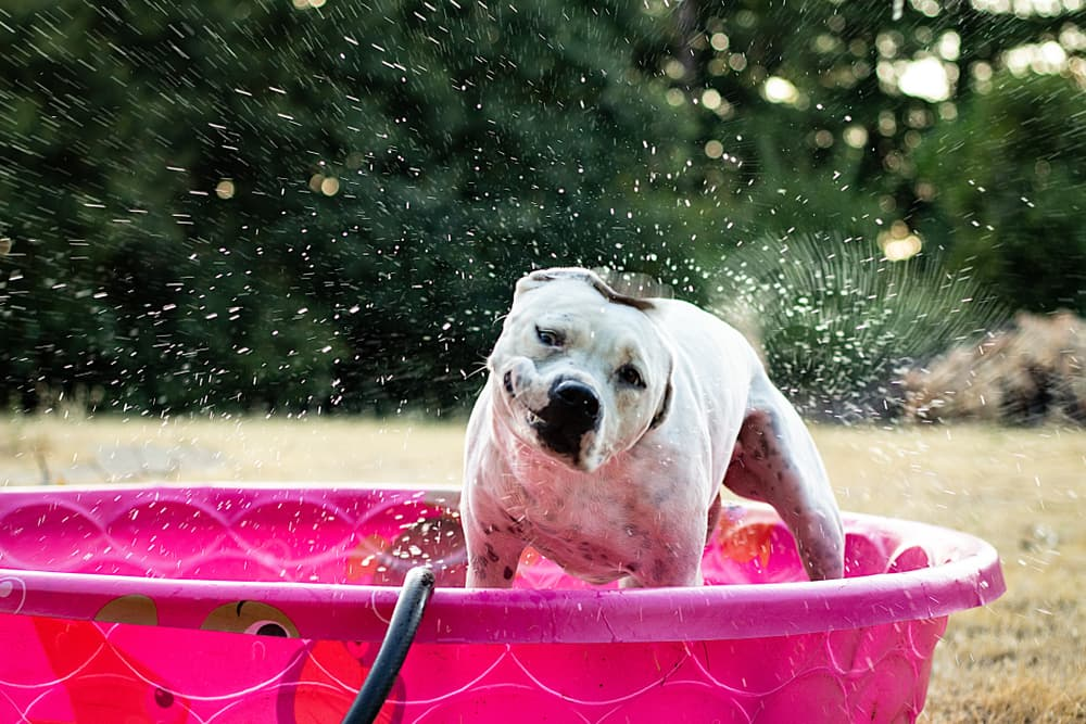 Dog playing in a kiddie pool in the yard