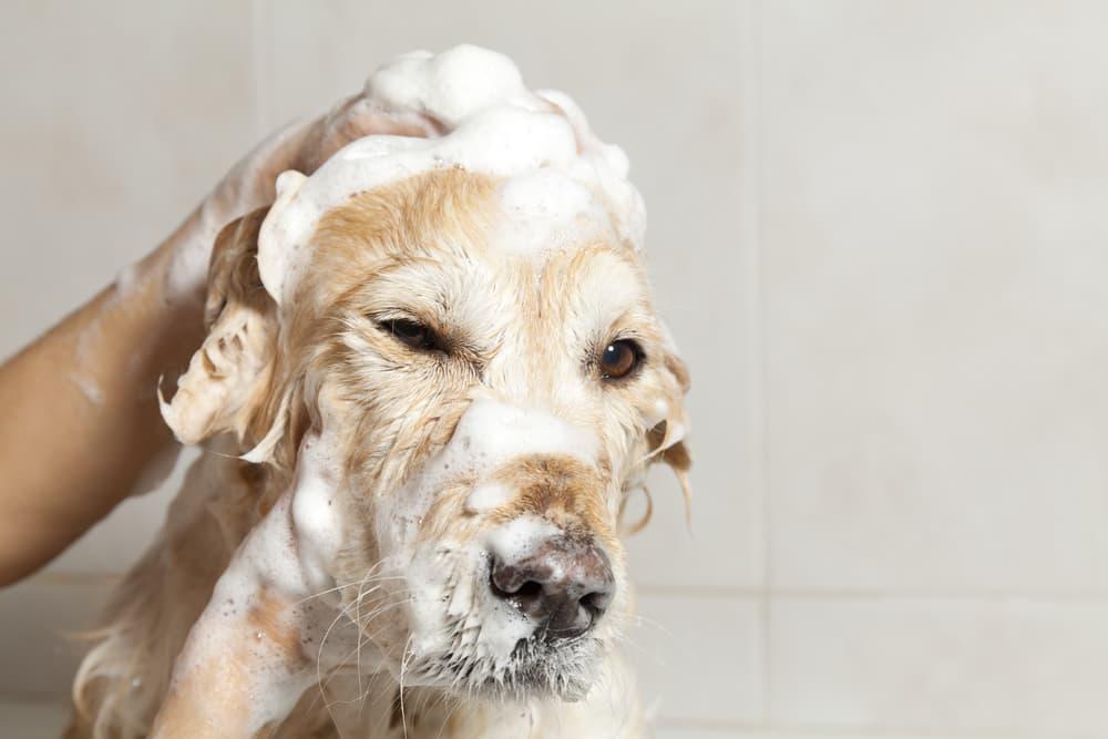 Dog having a soapy bath