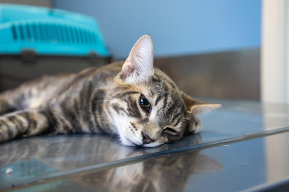 Cat sedated at the vet