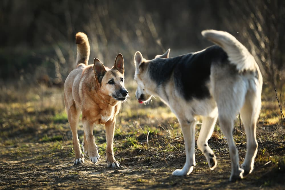 Two dogs outside sniffing each other