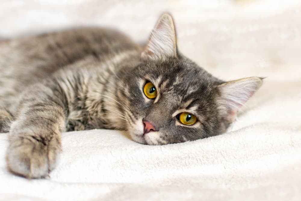Cat laying on bed looking tired