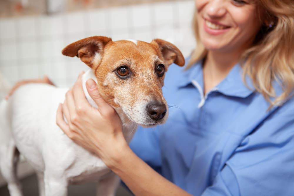 Jack Russel Terrier at the vet