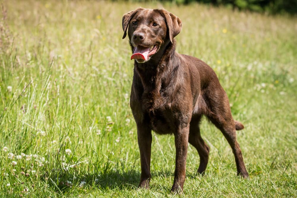 Healthy chocolate lab outside