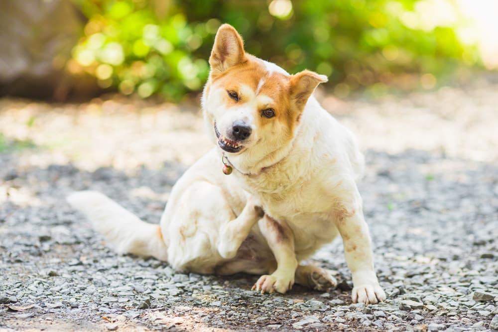 Dog sitting outside scratching