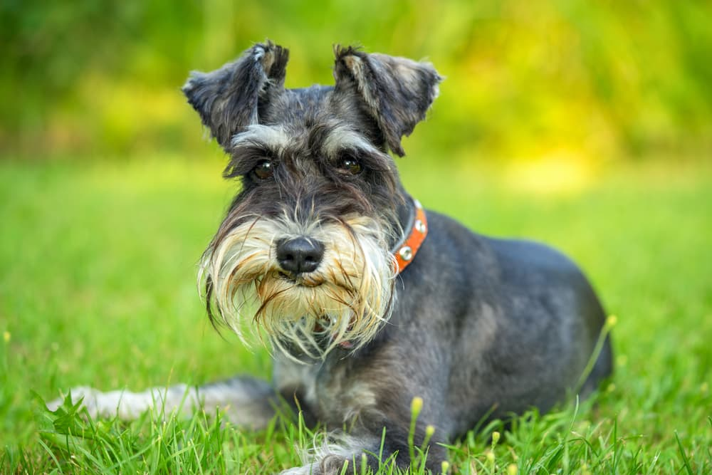 Miniature Schnauzer laying in grass looking concerned