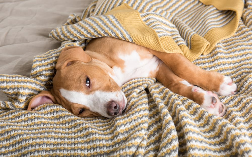 Sick dog lying on blanket