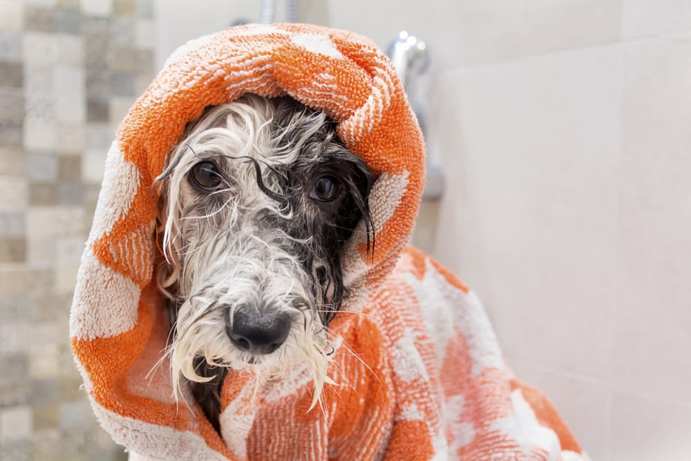 Dog at home being in a towel after a bath
