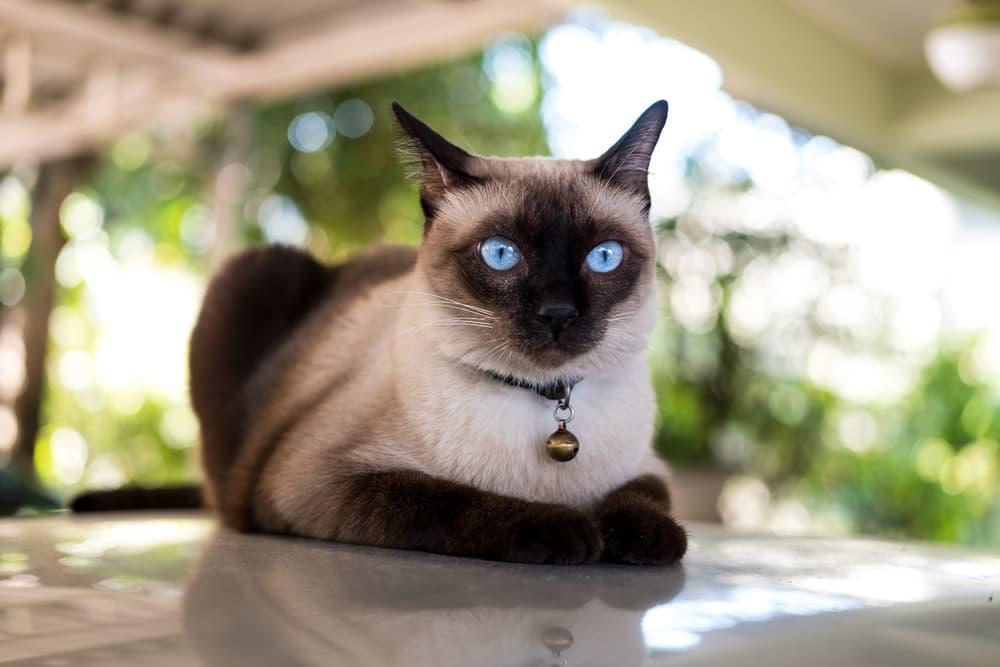 Siamese cat looking anxious
