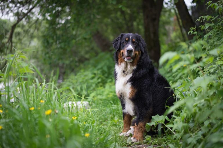 Bernese Mountain Dog sitting in the woods
