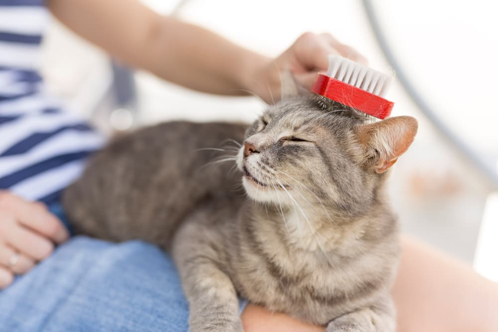 Cat being brushed by owner in her lap