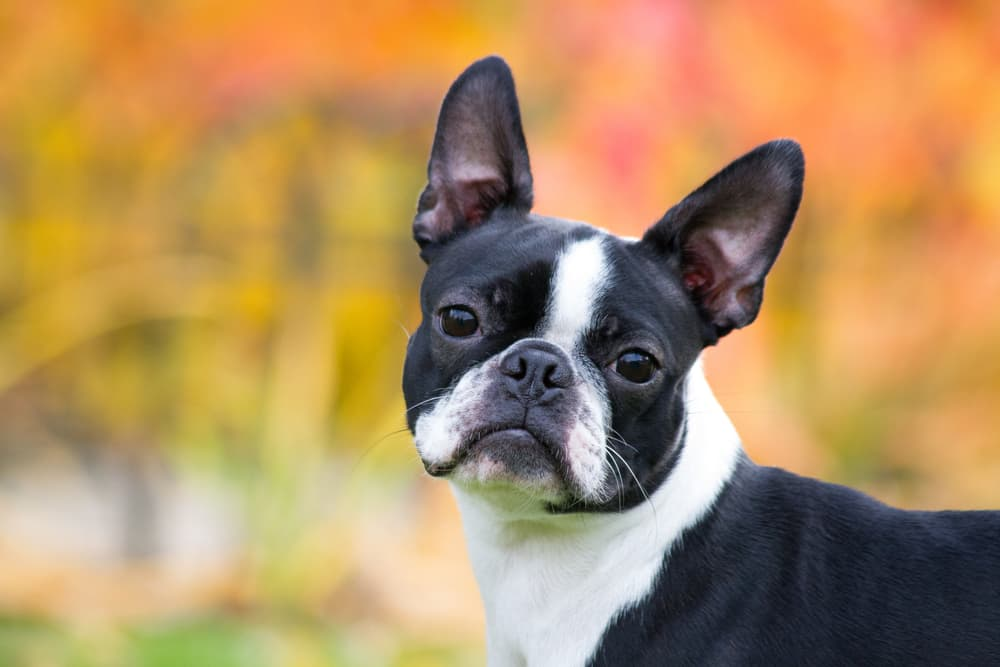 Boston terrier puppy looking at owner outside