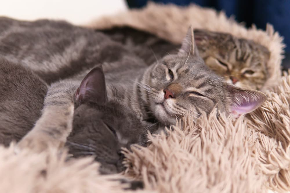 Two cats in a home in their cat bed