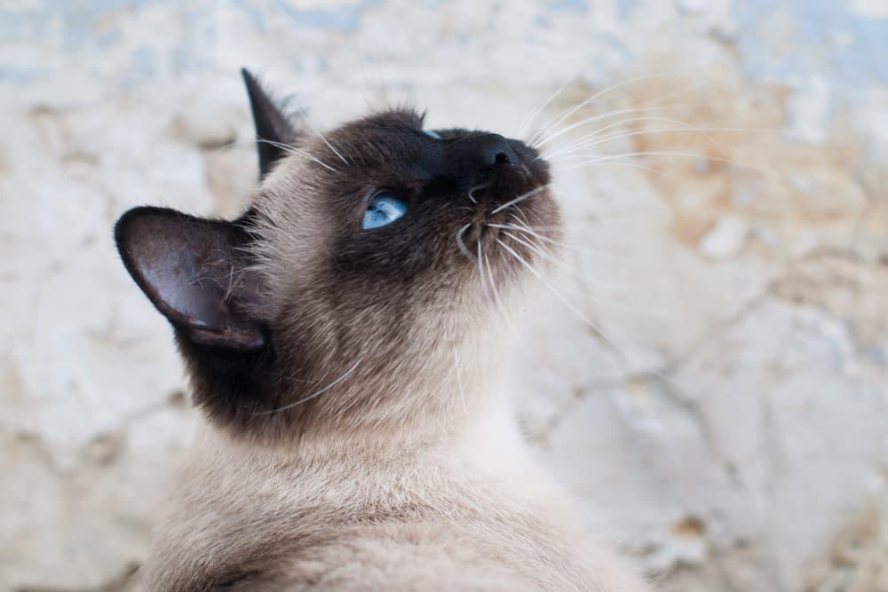 Cerenia for Cats
