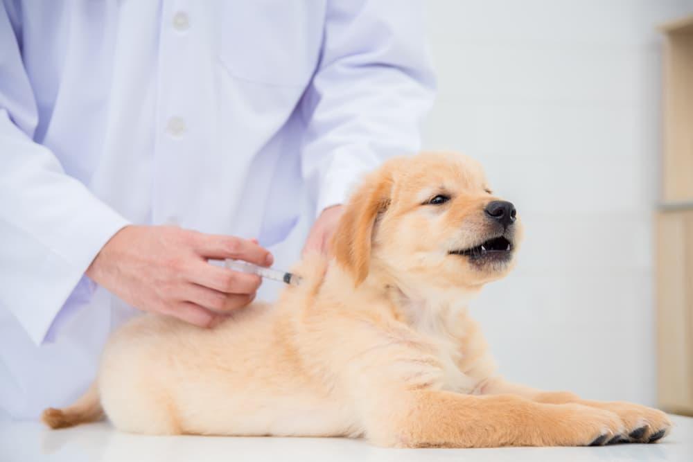 Bordetella Vaccine for Dogs