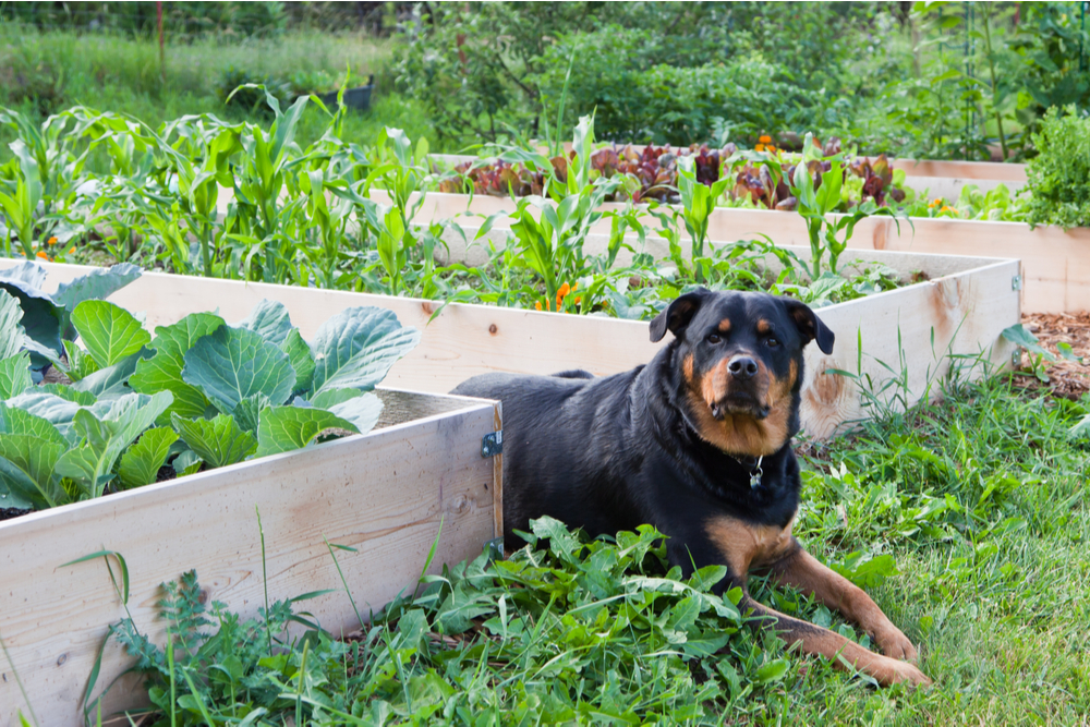 Dog laying in a vegetable garden