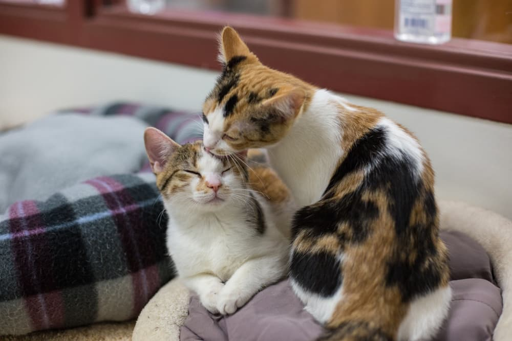 Two Calico cats grooming each other