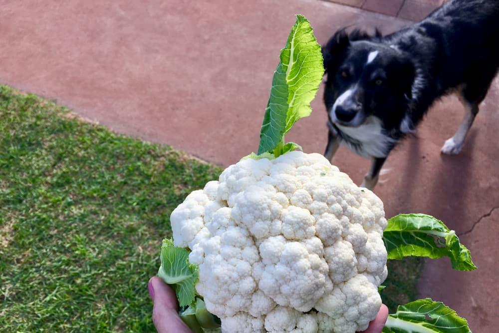 Cauliflower with dog in background