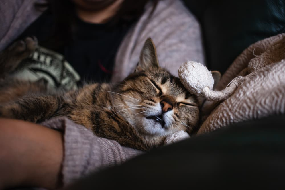 Cozy cat sleeping on owners