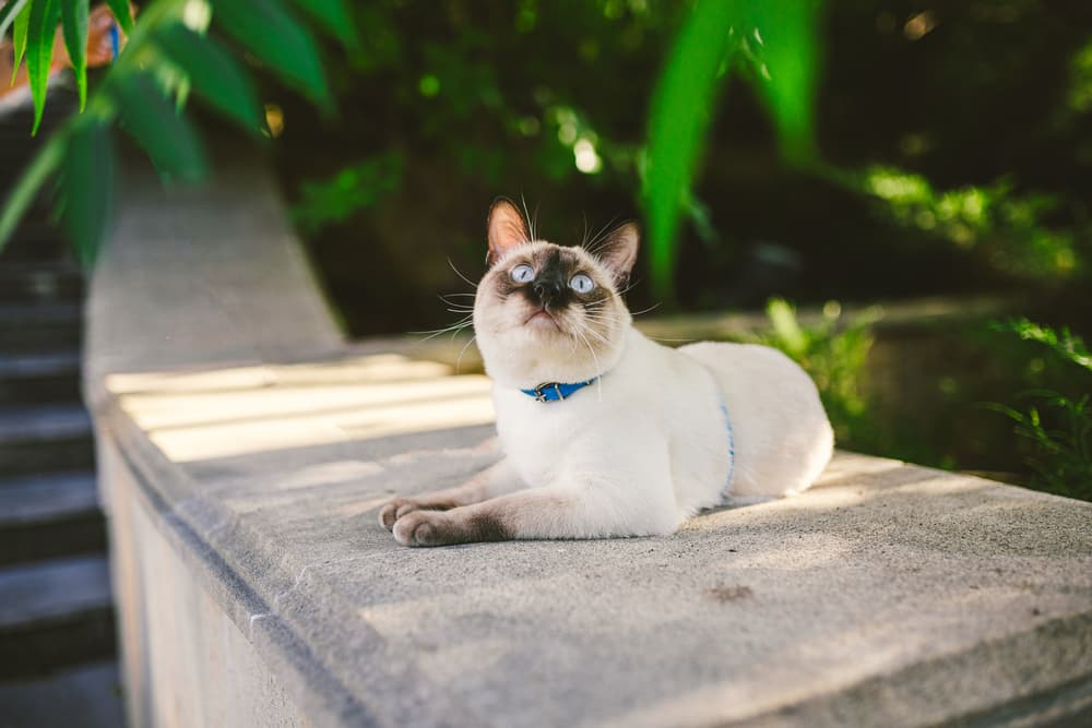 Siamese cat sitting outdoors in the shade