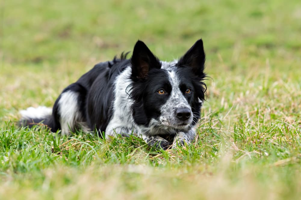 Collie dog outside in field