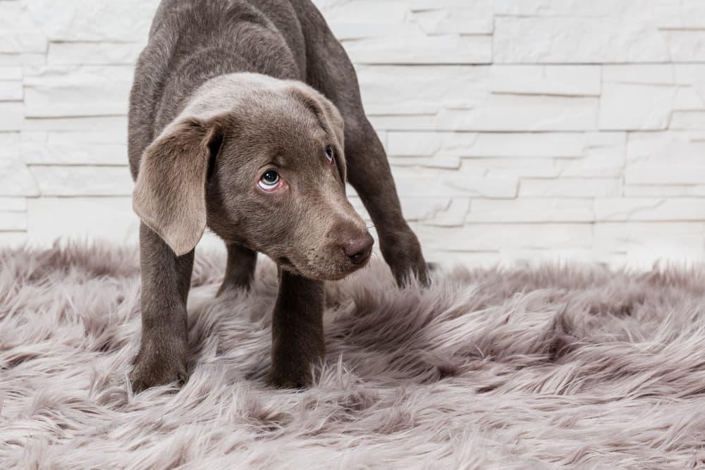 scared dog on carpet