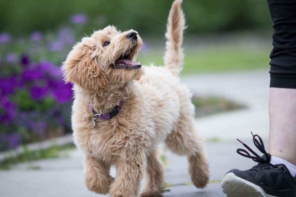 Dog walking next to owner behaving well