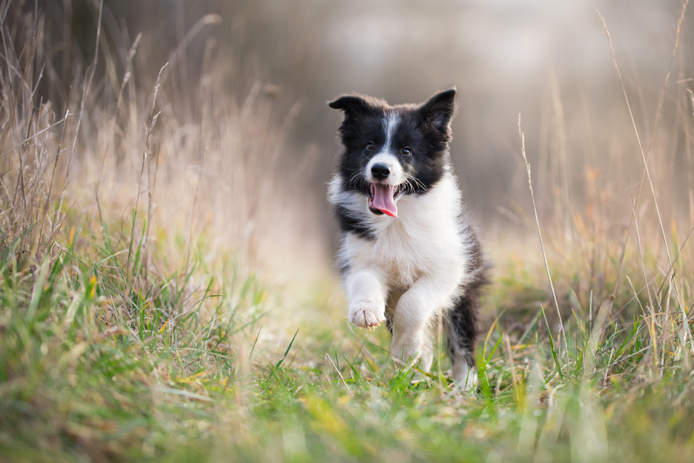 Border Collie puppy running outside