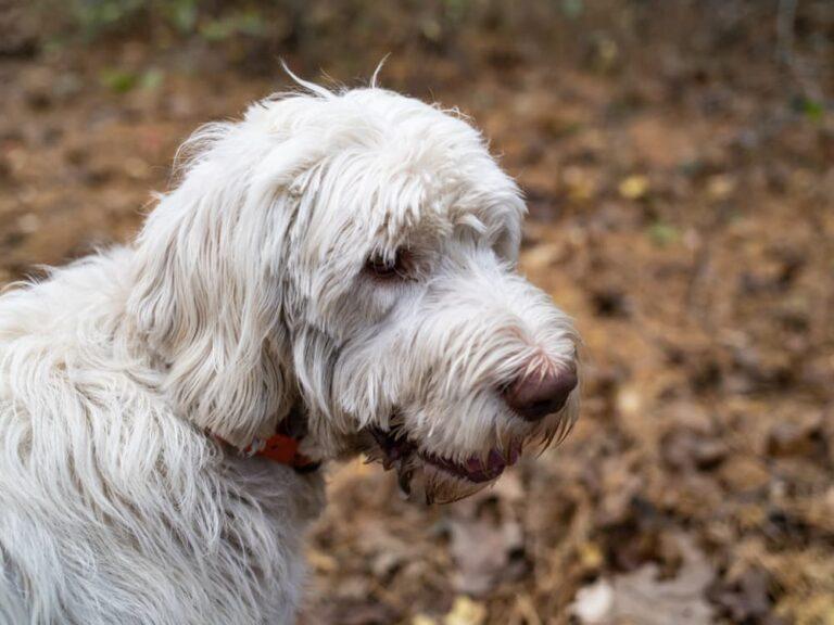hond met gematteerde vacht