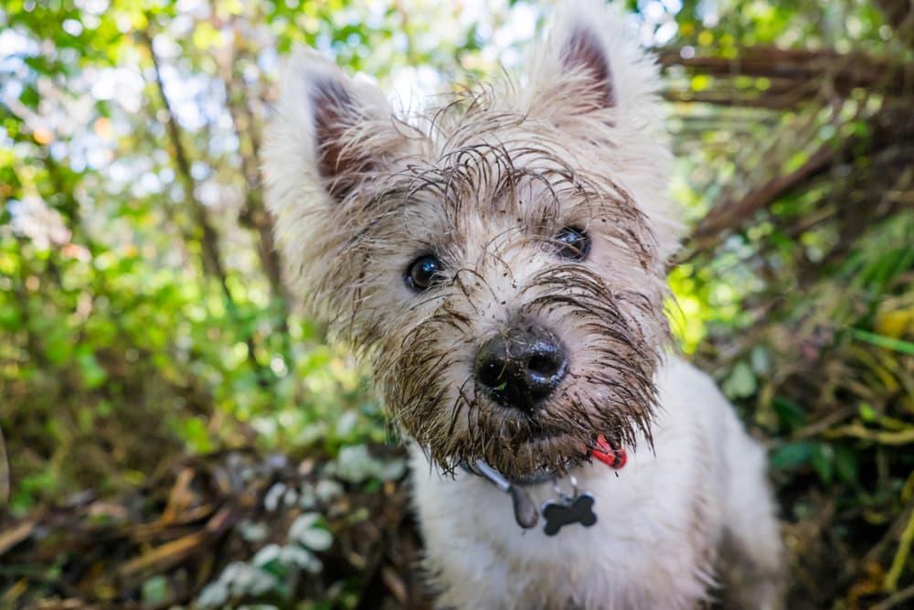 Mon chien mange de la terre : à quel point dois-je m'inquiéter ?