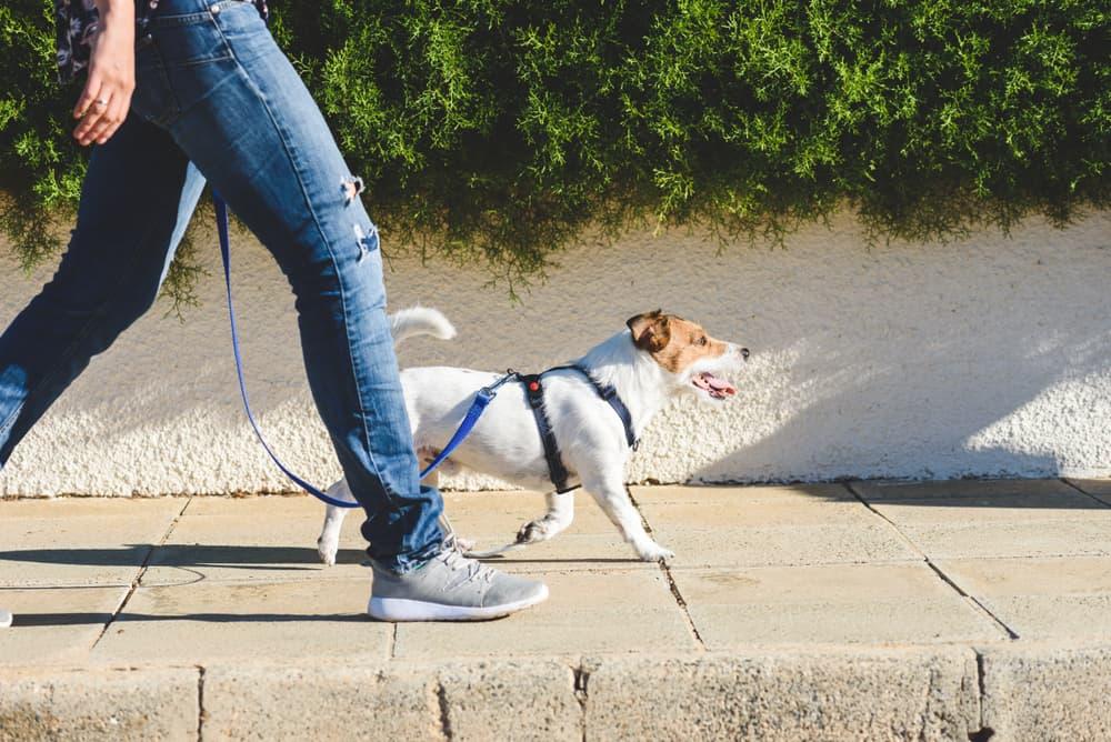 dog walks on leash