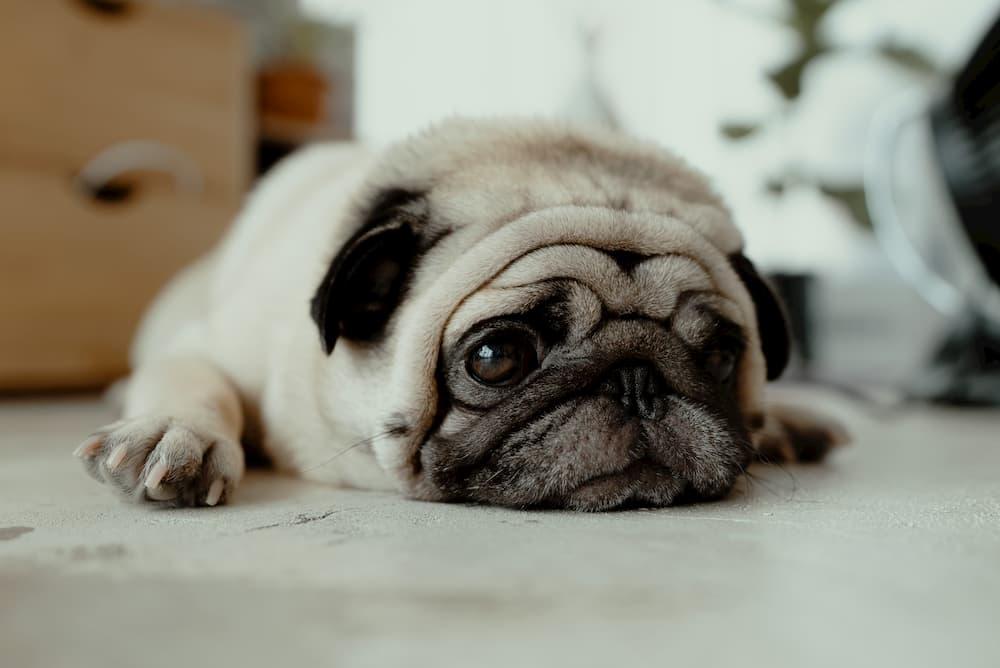 sad pug lying on floor