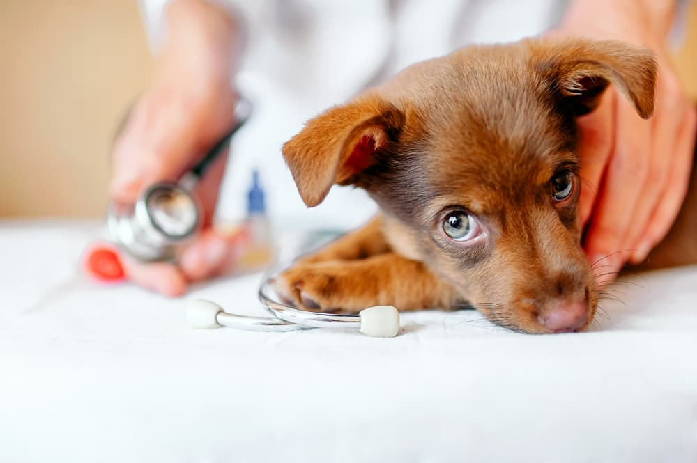 Puppy Deworming: Why 'Early and Often' Still Holds True