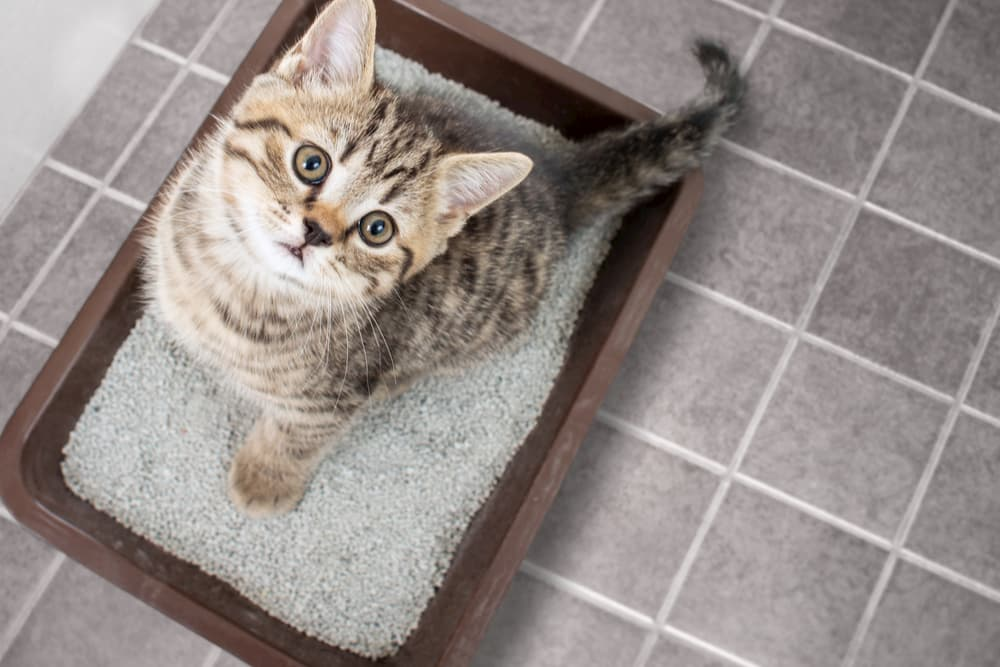 Flushable Cat Litter: Weighing the Pros and Cons | Great Pet Care