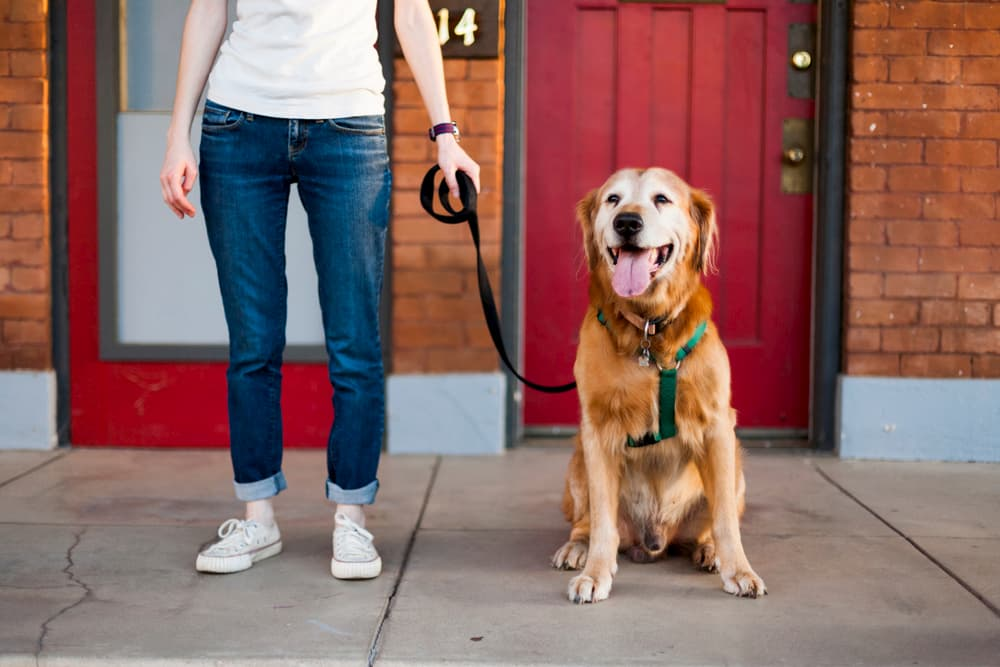 Owner walking dog on a harness