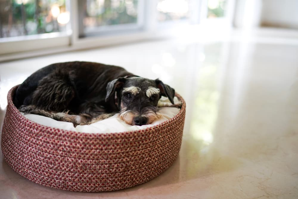 Dog lying in dogbed not feeling well