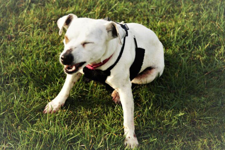 dog sneezing in grass