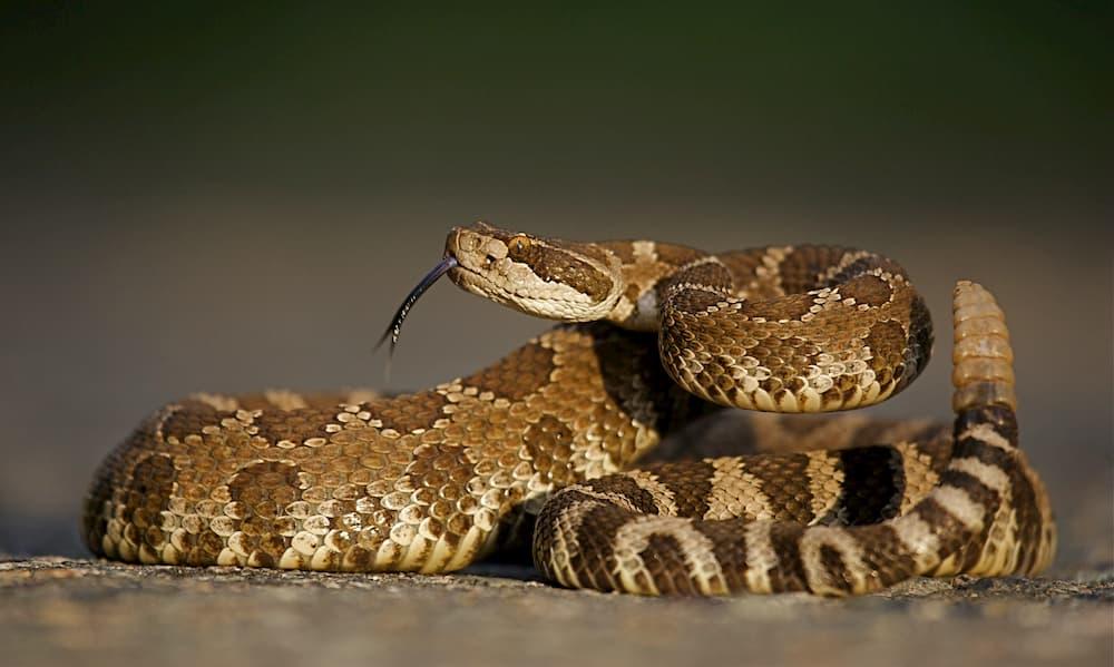 Rattlesnake Vaccine for Dogs