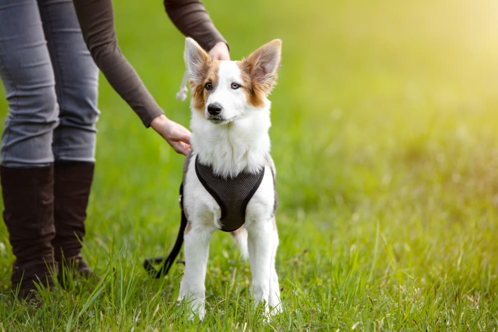Owner setting a harness on a dog
