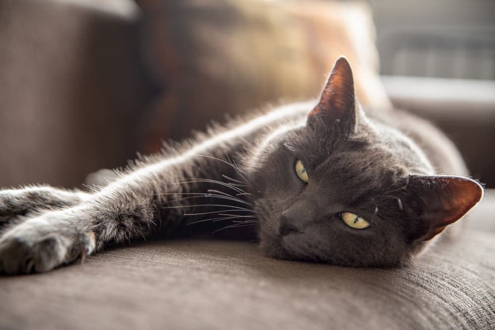 Cat stretching on couch looking at camera