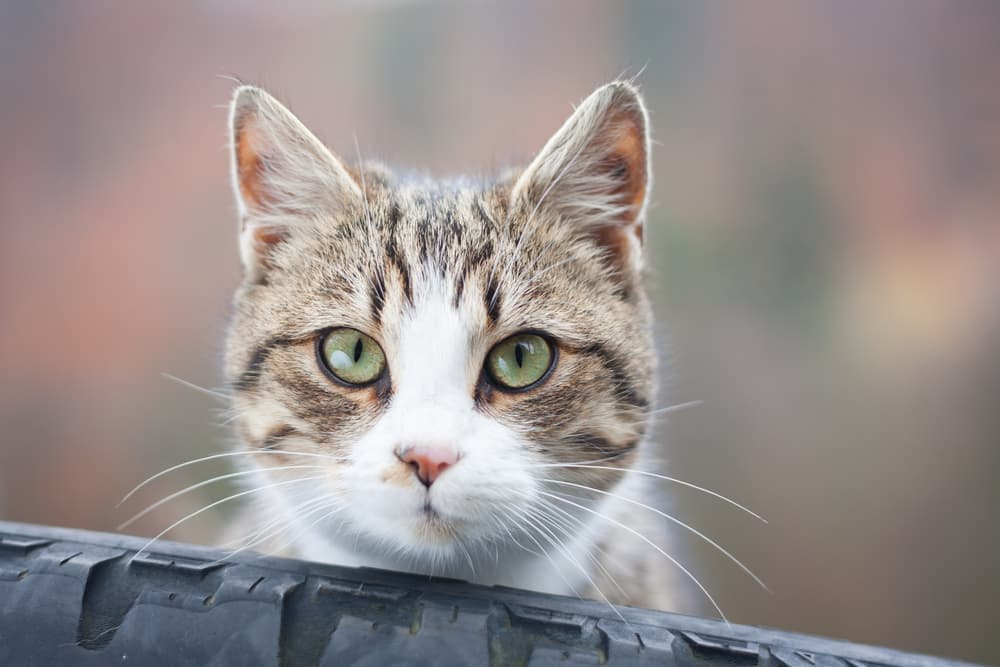 Tabby cat looking over a fence outside