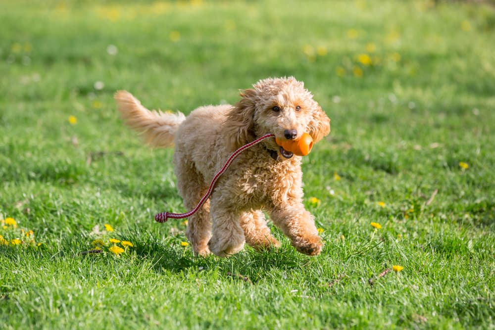Poodle puppy running with a toy